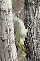 Picus viridis sharpei 072.jpg