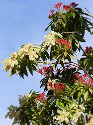 Pieris-uncertain-0349.JPG