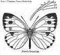 Pieris brassicae.jpg
