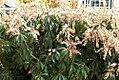 Pieris japonica Dorothy Wyckoff 2zz.jpg
