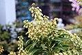 Pieris japonica Sarabande 4zz.jpg