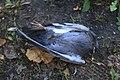Pigeon (37988461876).jpg