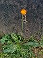 Pilosella aurantiaca (15439973795).jpg