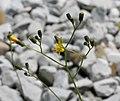 Pilosella piloselloides ENBLA01.jpg