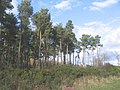 Pine plantation, Low Moor Road, Rawcliffe - geograph.org.uk - 349264.jpg