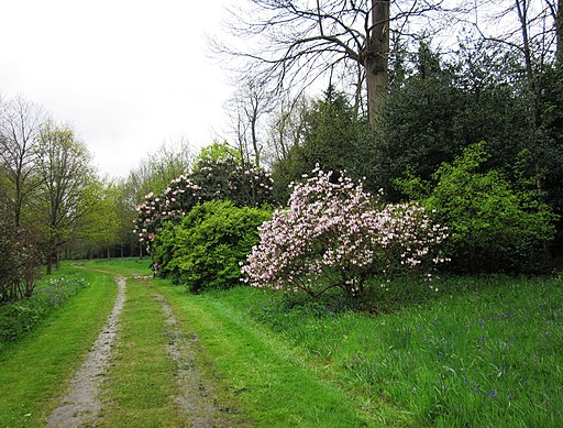 Pink azaleas and rhododendrons in Petworth Park