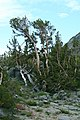 Pinus albicaulis Iron MountainCA3.jpg