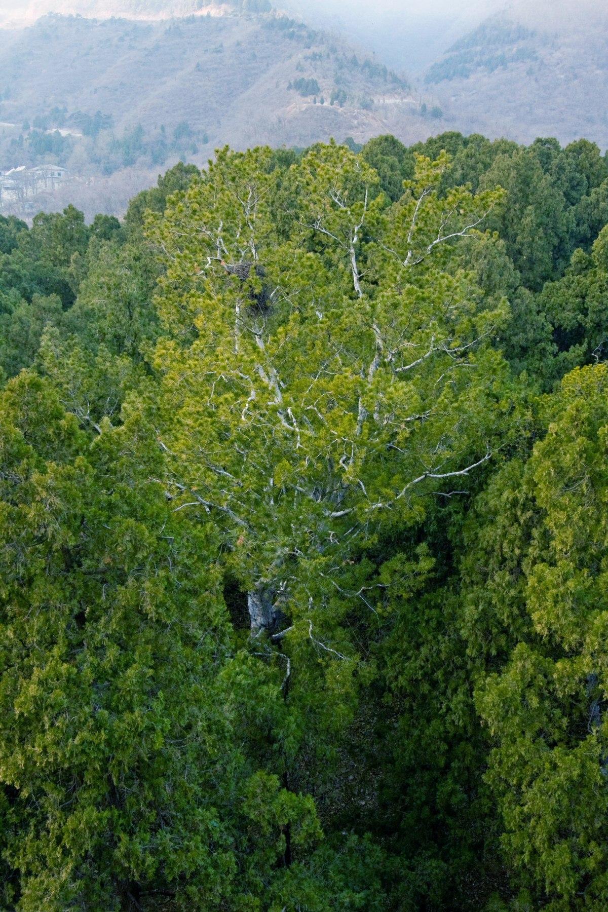 Cambridge Botanical Gardens >> Pinus bungeana - Wikimedia Commons