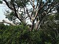 Pinus bungeana in Jingshan Park.jpg