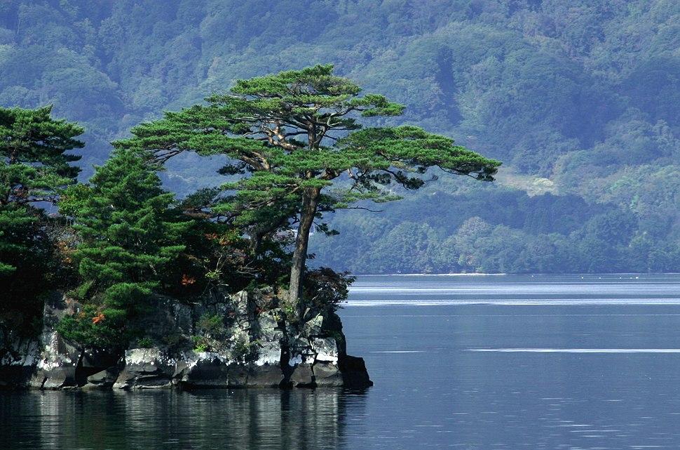 Pinus densiflora Towada