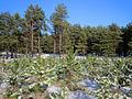 Pinus forest in Volgograd Oblast.jpg