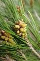 Pinus halepensis kz12 (Morocco).jpg