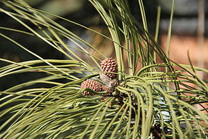 Young female cones on Ponderosa Pine (Pinus po...