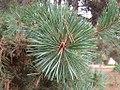 Pinus silvestrys - Beli bor.jpg