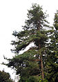 Pinus sylvestris Seattle 01a.jpg