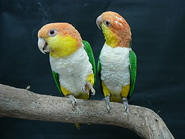 Pionites leucogaster -two perching-8a.jpg