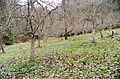Piper Orchard row of trees 02.jpg