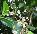 Pisonia umbellifera (5187738159).jpg