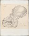 Pithecus morio - schedel - 1700-1880 - Print - Iconographia Zoologica - Special Collections University of Amsterdam - UBA01 IZ19800068.tif