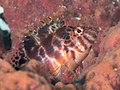 Pixy hawkfish (Cirrhitichthys oxycephalus) (46991872464).jpg