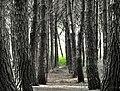 Pjese pylli ne Velipoje.jpg