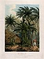 Plantain trees (Musa x paradisiaca) and coconut palms (Cocos Wellcome V0043050.jpg