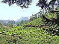 Plantations de thé (Munnar, Inde) (13665747563).jpg