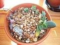 Plants from turkey 003 (5096780838).jpg