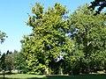 Platany Hlohovec - Plane-trees Hlohovec, Slovakia - panoramio (3).jpg