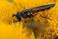 Platycheirus.peltatus2.-.lindsey.jpg