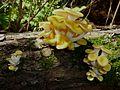 Pleurotus citrinopileatus in Chatama's home.jpg