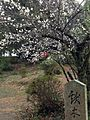 Plum blossoms in Kashii Shrine.jpg