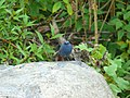 Plumbeous Water Redstart - Rhyacornis fuliginosa - P1060575.jpg