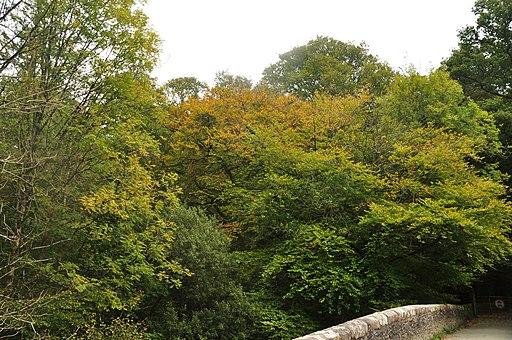 Plymbridge Woods at Plymbridge (5921)