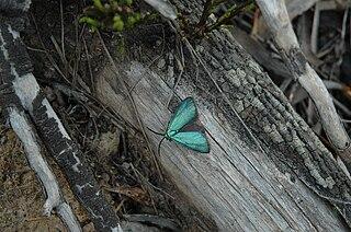 <i>Pollanisus viridipulverulenta</i> species of insect