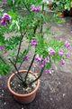 Polygala myrtifolia - Botanischer Garten Bonn.jpg