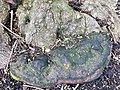 Polyporales - Fomes fomentarius - 3.jpg