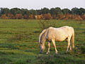 Ponies grazing south of Ipley Manor, New Forest - geograph.org.uk - 203861.jpg