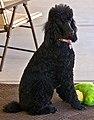 Poodle (8158513936).jpg