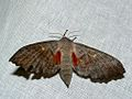 Poplar Hawk-moth (Laothoe populi) (8337300292).jpg