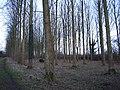 Poplar wood near Thornborough Mill - geograph.org.uk - 338024.jpg