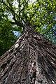 Populus nigra L., вид знизу.jpg
