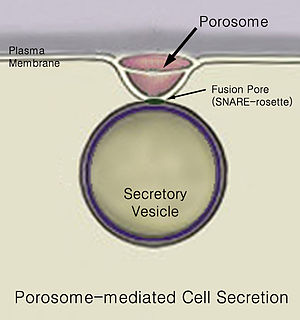 Secretion - Porosome