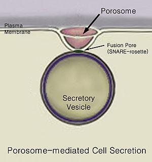 Secretion - Porosome