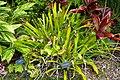 Portea petropolitana - McKee Botanical Garden - Vero Beach, Florida - DSC02958.jpg
