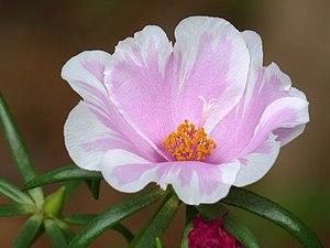 Portulaca - Portulaca grandiflora 'Bicolor'
