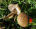 Possibly Slimy Waxcap. Hygrocybe irrigata (49055056751).jpg