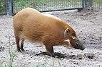 Potamochoerus porcus at Lowry Park Zoo.JPG