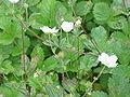 Potentilla fragiformis0.jpg