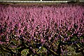 Presseguers en flor, Sant Pau d'Ordal, Penedès. (26924491448).jpg
